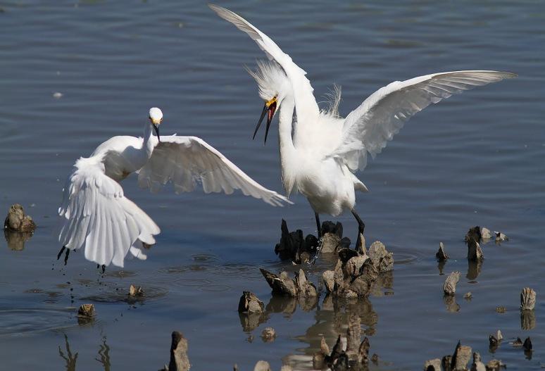 Snowy Fight in the Salt Marsh