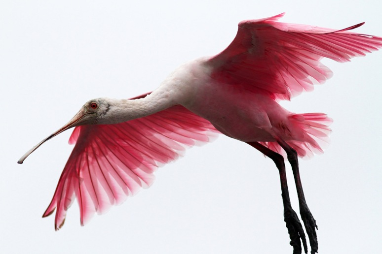 Spoonbill Against Grey Sky