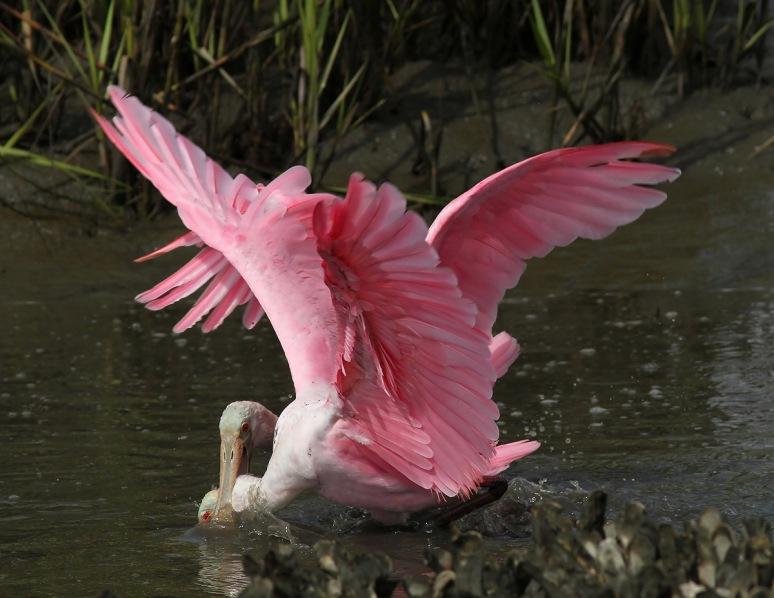 Spoonbill Battle in the Salt Marsh