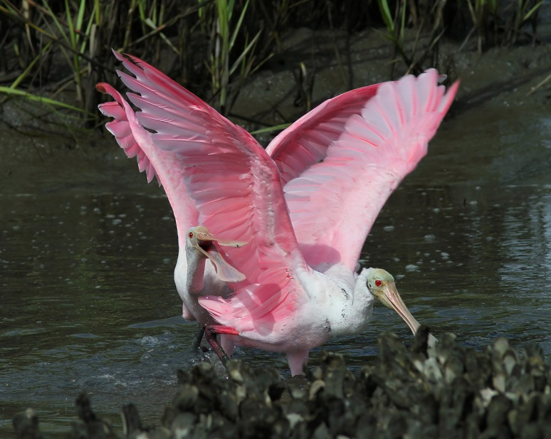 Spoonbill Battle in the Salt Marsh