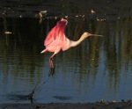 Spoonbill Jump andFly