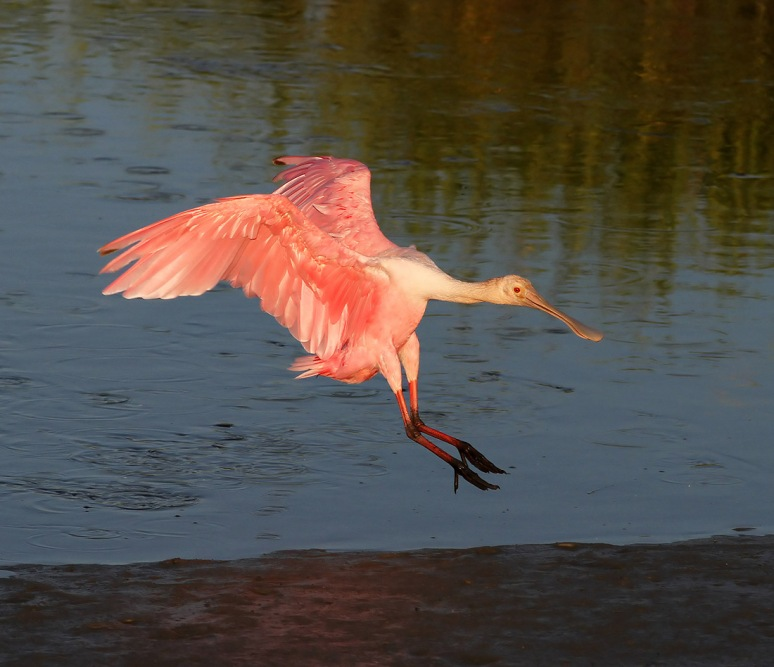 Spoonbill Jump and Fly