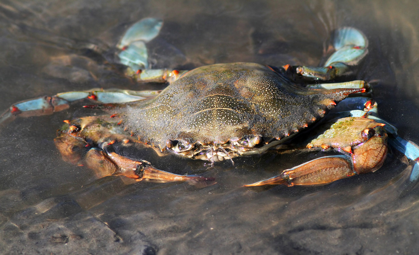 Blue Crab in Salt Marsh | Phil Lanoue Photography