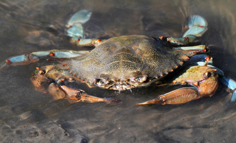 Blue Crab in Salt Marsh