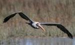 Brown Pelican MovingIn