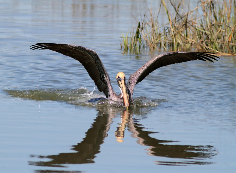 Brown Pelican Moving In