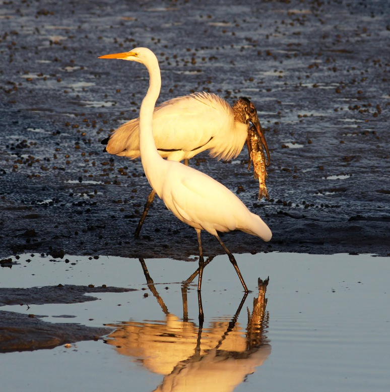 Egret and Wood Stork