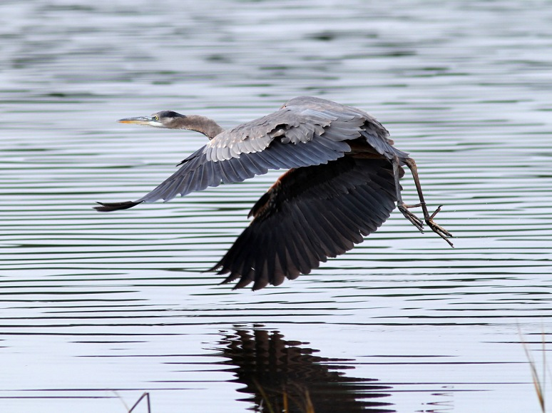 GBH Behavior and Movement