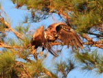 Juvie Bald Eagle Jumps Off From PineTree