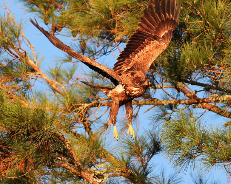 Juvie Bald Eagle Jumps Off From Pine Tree