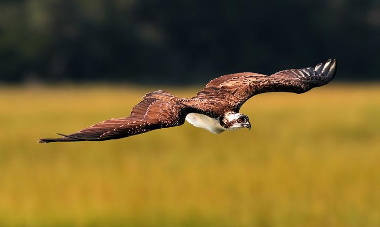 Osprey Flight Over The Salt Marsh