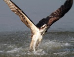 Osprey Wet andHungry