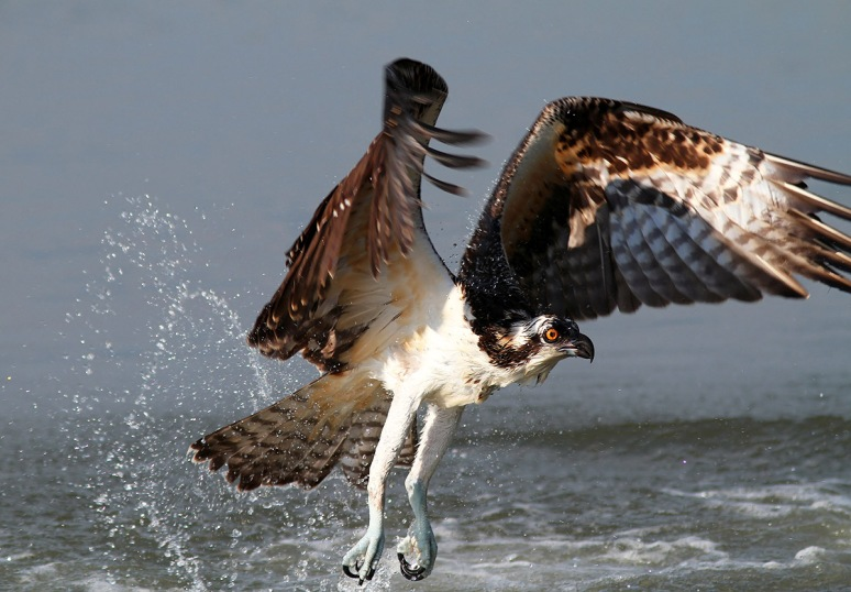 Osprey Wet and Hungry