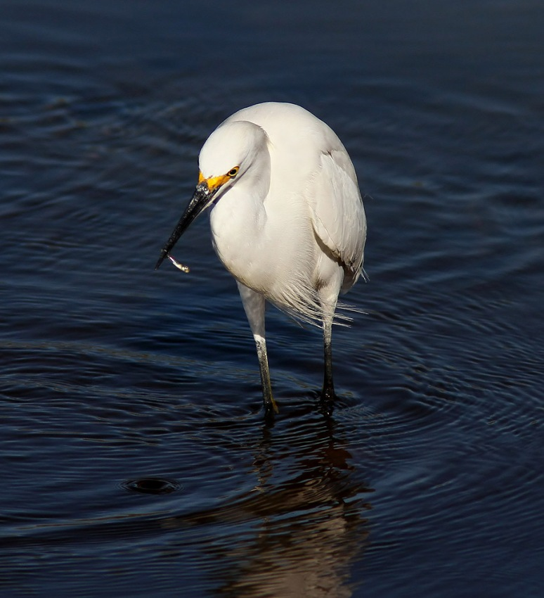 Snowy Egret Seafood Dinner