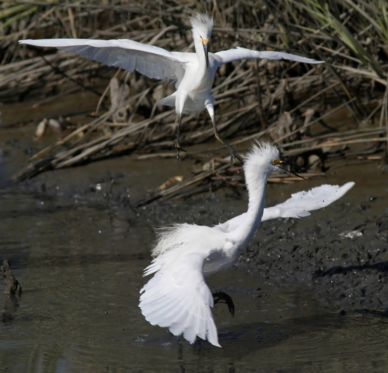Snowy Egrets Argument in the Salt Marsh