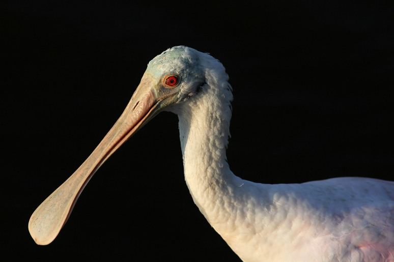 Spoonbill Feeding in the Marsh Pond