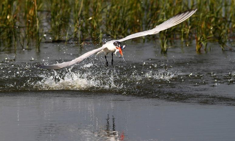 Tern Snags a Fish