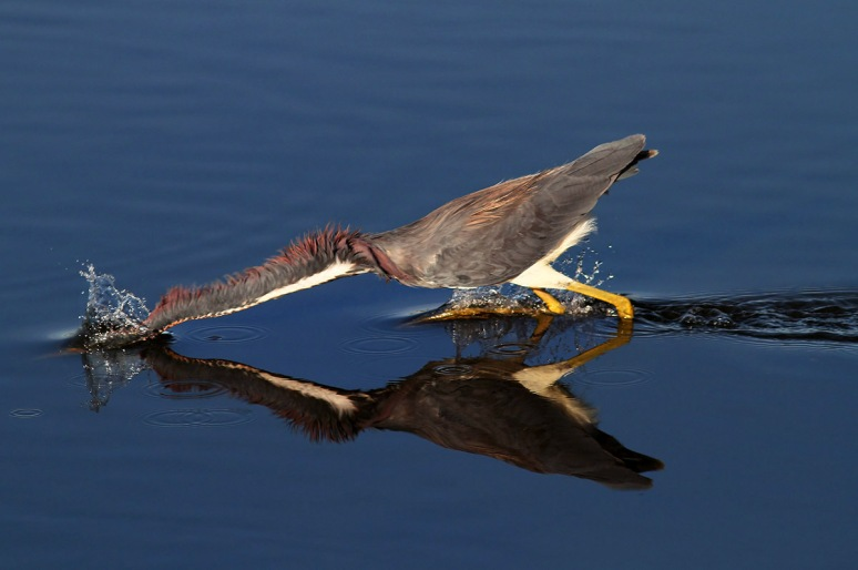 Tricolored Heron Fishing in Marsh Pond