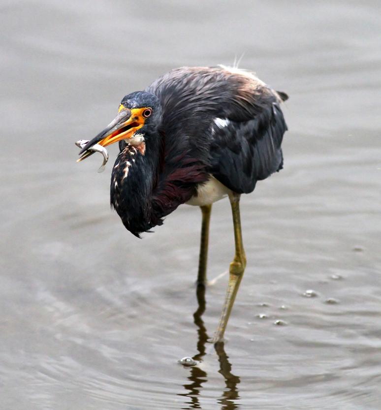 Tricolored Heron Fishing in the Salt Marsh