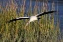 Wood Stork Evening Flight