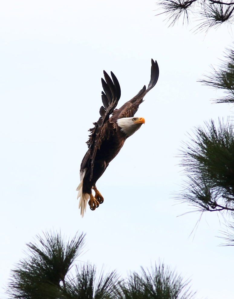 Bald Eagle Jumps Branch