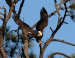 Bald Eagle Jumps Off From PineTree