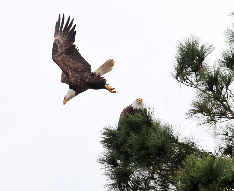 Bald Eagle Pair Active Morning