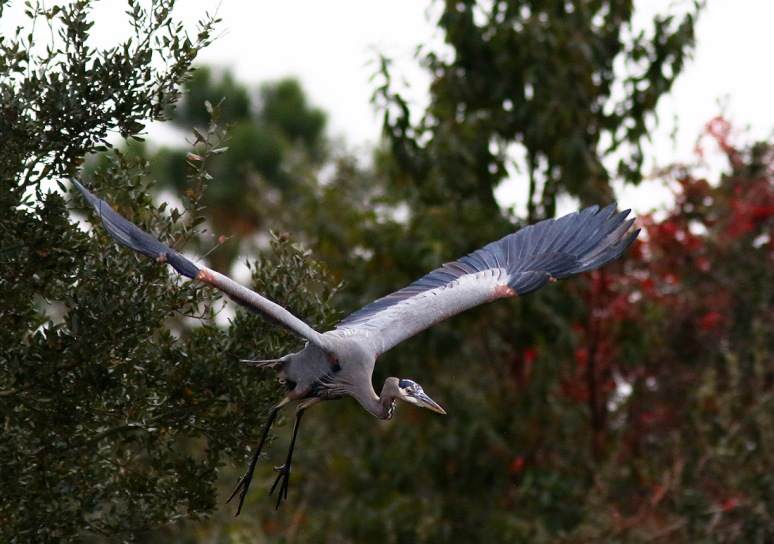 Blue Heron Falls Out of Tree