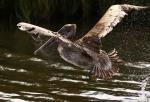 Brown Pelican Morning Fishing in theMarsh