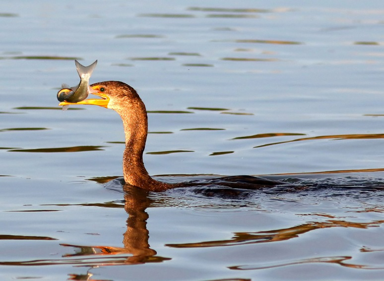 Cormornat Fishing in the Salt Marsh