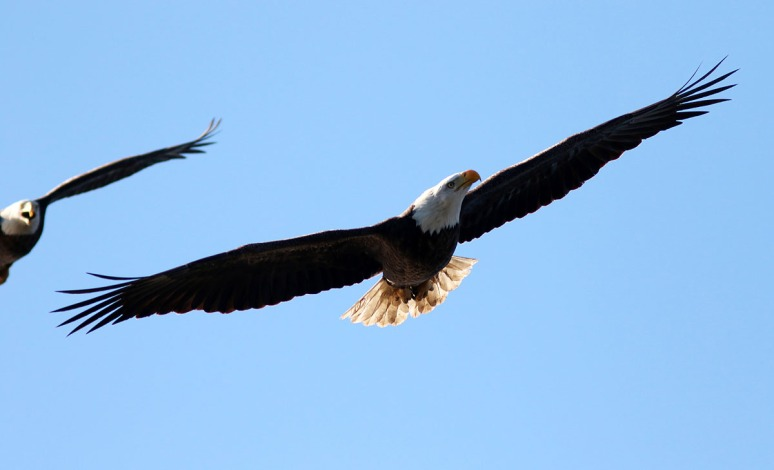Eagle Gets Chased Away