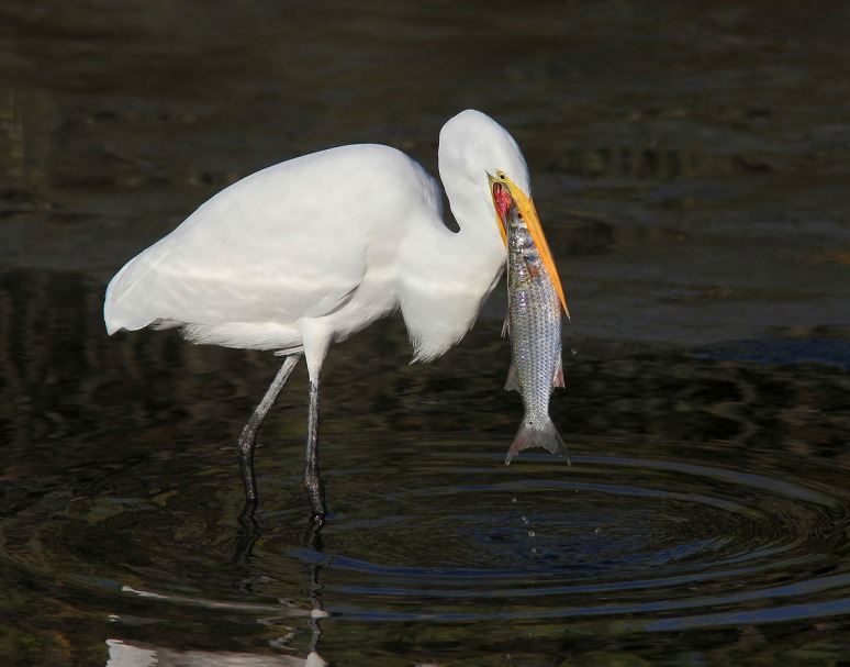 Egret Catches Big Fish