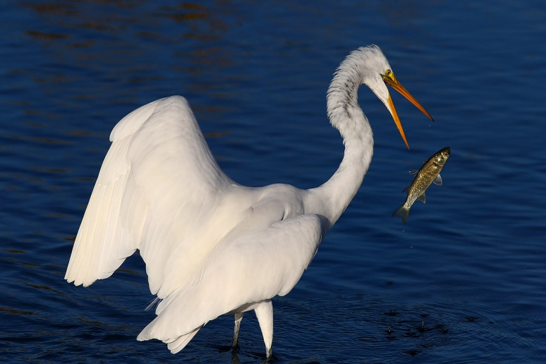 Egret Drops Fish