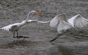 Egrets Fighting in the Salt Marsh
