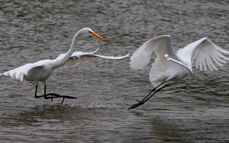 Egrets Fighting in the Salt Marsh