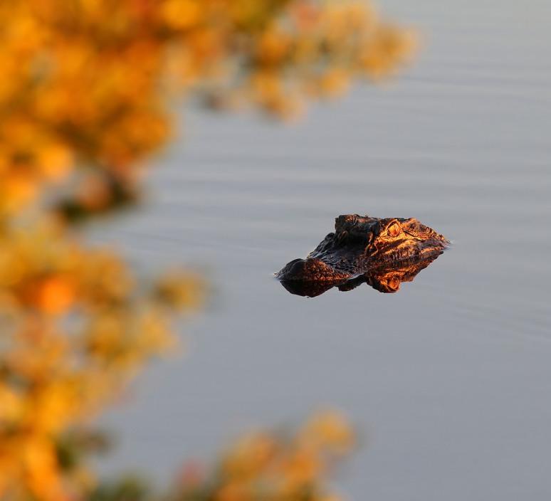 Fall Foliage and Alligator