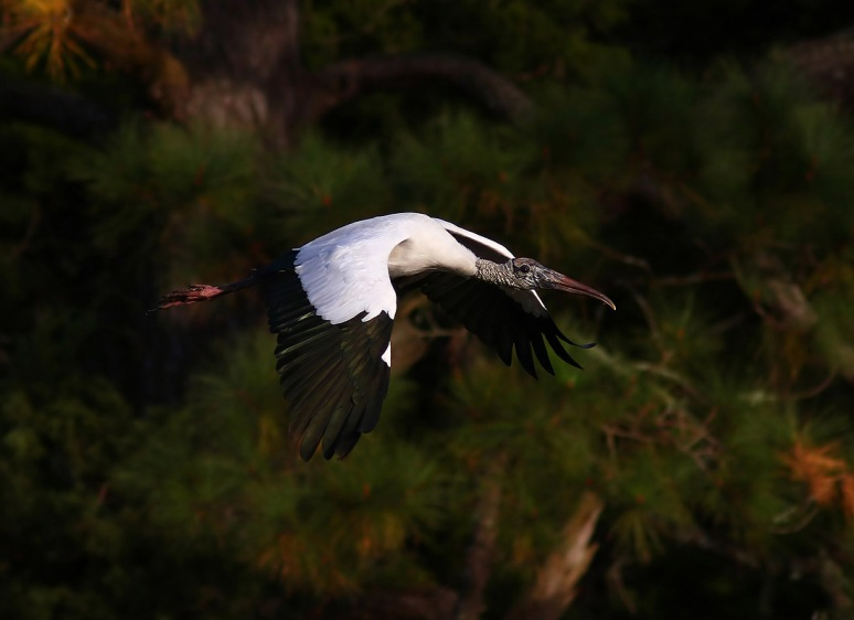 Fun With Wood Storks