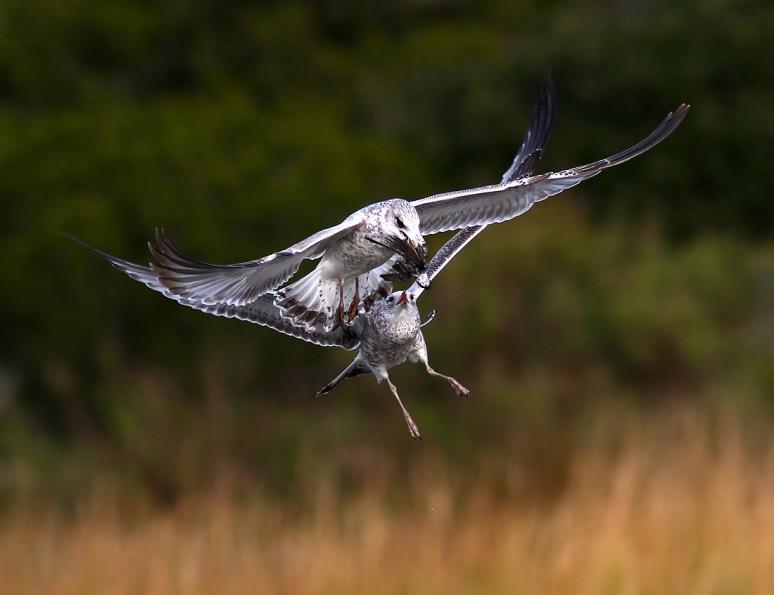 Gull Chasing Gull