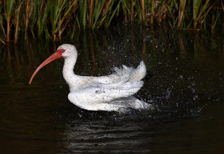 Ibis Bathing