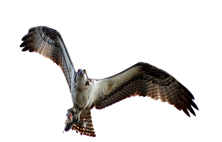 Osprey Flight with Two Fish