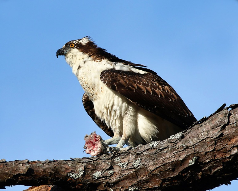 Osprey in PineTree with Fish