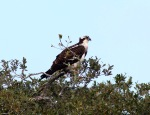 Osprey Jumps Off From PineTree