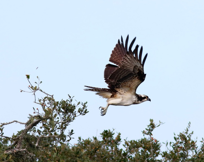 Osprey Jumps Off From Pine Tree