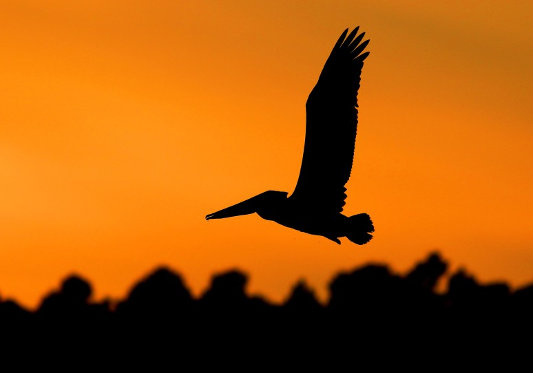 Pelican Sunset Silhouette