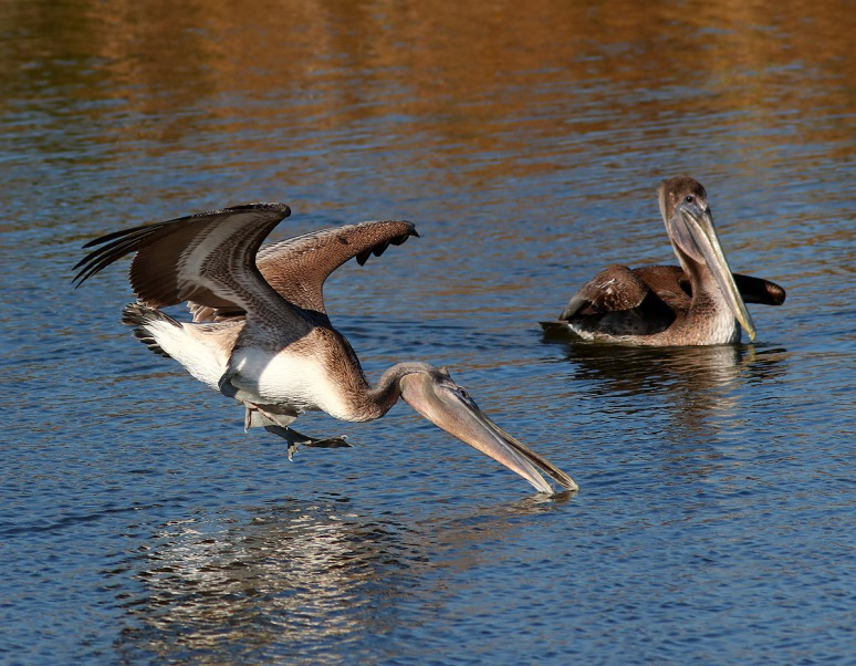 Pelicans Splashing Around