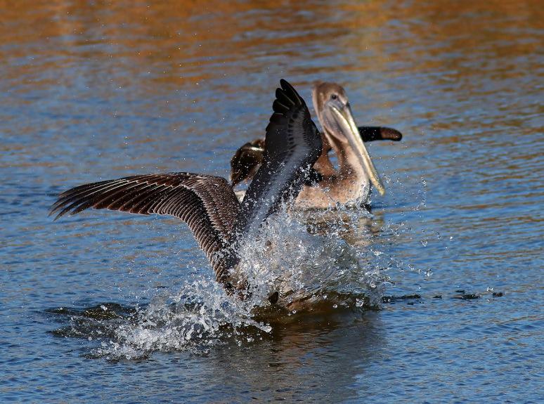 Pelicans Splashing Around