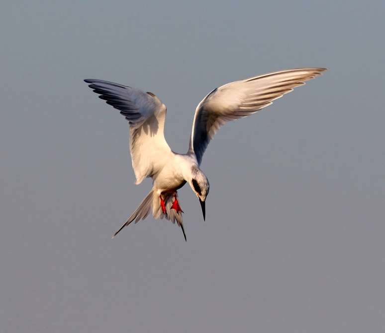 Tern Misses Fish