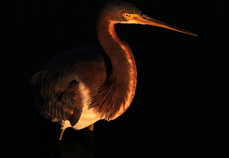 Tricolored Heron at Evening Sunset