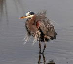 GBH Fluffed Up