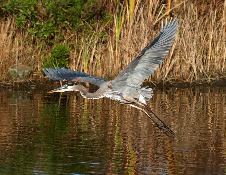GBH Jumps Off From Marsh Pond